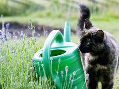 Katze inspiziert Gießkanne: Mal sehen, ob was drinnen ist! — Bild: Shutterstock / BMJ    www.einfachtierisch.de