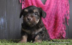 Maltipoo Maltezer x Poedel Super leuk hondje! Home • www.hondjes.nl