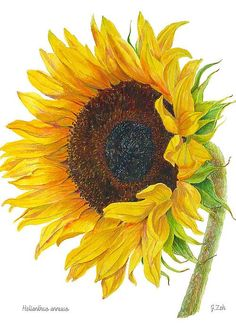 Sunflower Greeting Card by Janet Zeh