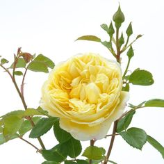 Buy Charles Darwin from David Austin with a 5 year guarantee and expert aftercare. Charles Darwin, Growing Roses, Growing Plants, Beautiful Roses, Beautiful Gardens, Deadheading Roses, Austin Rosen, Rose Delivery, Rose Care