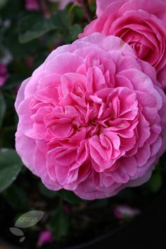 ~Gertrude Jekyll (shrub) Rosa 'Gertrude Jekyll = 'Ausbord' (PBR)': Lovely old…