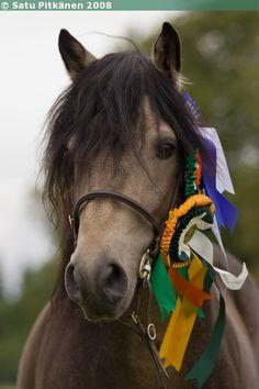 Connemara stallion Rockfield Scarface