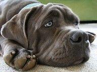 My favorite doggie ever!!! Mastif!  so love the eyes............... : )