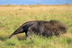 Giant Anteater, Guyana Giant Anteater, Lovers Eyes, Armadillo, All Gods Creatures, Happy Animals, Brown Bear, Animal Photography, Mammals, Animal Pictures