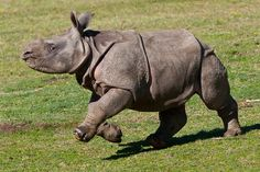 """Two-month-old one-horned rhino Charlees romps in her enclosure at the San Diego Zoo Safari Park during her public debut on March 20, 2012."""