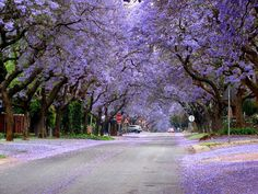 The jacarandas will bloom in April.