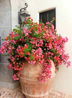 Mein Lieblingsaccessoire in diesen Tagen Container Flowers, Container Plants, Container Gardening, Bougainvillea, Love Garden, Garden Pots, Large Terracotta Pots, Outdoor Plants, Garden Projects