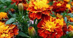 Crăițele, un ajutor de nădejde pentru sănătatea ochilor Garden Plants, Minerals, Graphic Design, Green, Gardening, Decor, Lush, Yellow Flowers, Secret Gardens