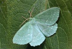 British insect lepidoptera macro - new photo at Avopix.com     https://avopix.com/photo/53116-british-insect-lepidoptera-macro    #butterfly #cabbage butterfly #insect #pierid #flower #avopix #free #photos #public #domain