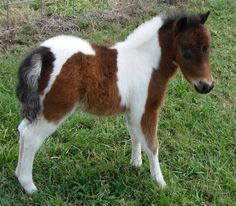 miniature horses for sale - page 135
