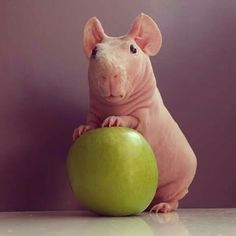 (Skinny pigs are sooo cute- they look like tiny hippos!!) Good morning humans I am Pig <3