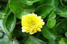 Ranunculus ficaria cv./ヤエヒメリュウキンカ/キンポウゲ科/キンポウゲ属 /