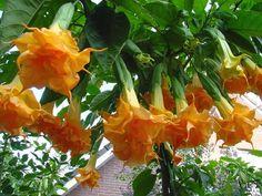 Brugmansia 'Langenbuscher Garten' - every bit as fantastic as it looks here, from trumpetflowers.com