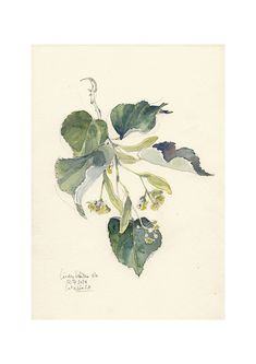 Linden Tree Blossom #4. PRINT of my lime tree watercolor. Sizes a5, a4 a3. Original botanical watercolor by Catalina S.A
