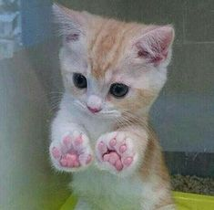 27 great cat pictures when life is shitty again - And this tiny kitten with the perfect paws. And this tiny kitten with the perfect paws. And this ti - Cute Cats And Kittens, I Love Cats, Crazy Cats, Kitty Cats, Adorable Kittens, Cat Paws, Ragdoll Kittens, Kittens Meowing, Kittens Cutest Baby