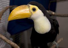 toucan chicks