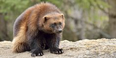 Denies Endangered Species Protection For Wolverines - unknown animals O Wolverine, Wolverine Animal, Black Bear, Brown Bear, Beautiful Creatures, Animals Beautiful, Adorable Animals, Canadian Animals, Honey Badger