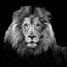 Photograph old lion portrait (B&W) by wise photographie on 500px