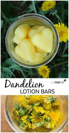 How to make dandelion lotion bars to soothe rough skin and sore hands. How to make dandelion lotion bars to soothe rough skin and sore hands. Diy Lotion, Lotion Bars, Hand Lotion, Lotion En Barre, Dandelion Oil, Dandelion Jelly, Diy Cosmetic, Dandelion Recipes, Homemade Beauty Products