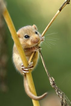 Dormouse hanging on a stalk
