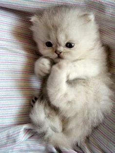 Baby white kitten grabbing her foot. Cats are just so cute. Me #cats #cute #kittens