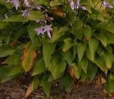 Hosta Plant with Scortched Leaves from Too Much Sun--great list of Hostas that do tolerate full sun
