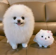 This sweet pomeranian puppy will bring you joy. Dogs are wonderful companions. Cute Baby Puppies, Aussie Puppies, Teacup Puppies, Baby Dogs, Pet Dogs, Pets, Beautiful Dogs, Animals Beautiful, Baby Animals