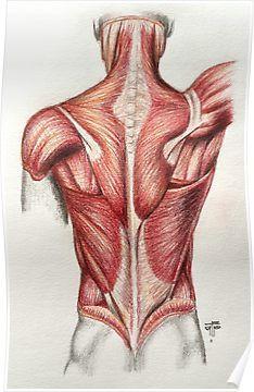 3379f49f6220ed39e07cdbd7c4e0f2c4 human shoulder muscle diagram upper back muscle diagram anatomy