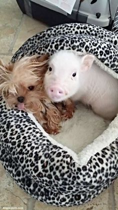 Teacup Pig Pictures   So Adorable