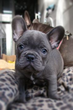 gray frenchie pup