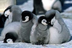 sleepy penguins