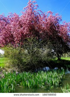 A crab apple tree heavily laden with pink blossoms takes center stage in a Boise city park.  ©Photo copyright by Marty Nelson. Photographer website: http://www.shutterstock.com/cat.mhtml?gallery_id=1131029&page=1&inline=188788850
