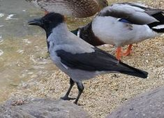 Norske vinterfugler - Dyr - Naturfakta Kraken, Crow, Bird, Animals, Raven, Animales, Animaux, Birds, Crows
