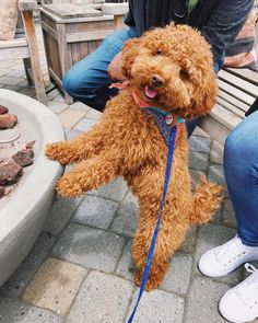 "Awesome ""poodle puppies"" information is readily available on our website. Take a look and you wont be sorry you did. Small Puppies, Small Dogs, Cute Puppies, Red Poodles, Mini Poodles, Poodle Mix, Poodle Puppies, Toy Poodles For Sale, Cute Little Animals"