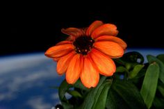 NASA Astronaut Tweets Photos of First Flowers Ever Grown in Space http://petapixel.com/2016/01/19/nasa-astronaut-tweets-photos-of-first-flowers-ever-grown-in-space/