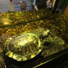>> @kaitlin.mcd turtles