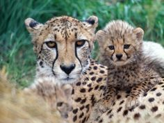 A Beautiful Cheetah Mother and Her Two Adorable Cubs.  (Photo by David Lloyd).