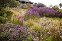 """The American Meadow Garden"" offers alternatives to lawns. Gauras, lavenders, salvias and verbenas in a meadow.    Read more: http://www.sfgate.com/cgi-bin/article.cgi?f=/c/a/2009/10/20/DDS51A378K.DTL#ixzz1wxIjfNLa"