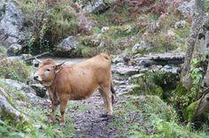 Vaca de Bulnes