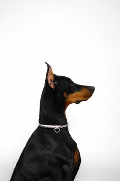 The Doberman Pinscher is among the most popular breed of dogs in the world. Known for its intelligence and loyalty, the Pinscher is both a police- favorite Animals And Pets, Cute Animals, Doberman Love, Blue Doberman, Doberman Pinscher Dog, Animal Books, Mans Best Friend, I Love Dogs, Big Dogs