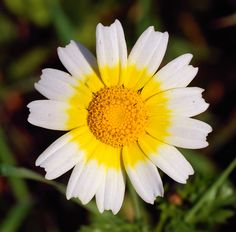 Crown Daisy - Glebionis coronarium - Google Search