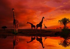 Giraffes at a watering hole... by Richard Desmarais