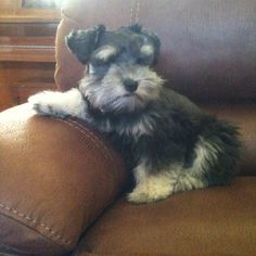 Schnauzer puppy...he's already looking like he's taken over as master of the house! LOL!
