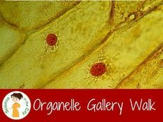 Organelle Gallery Walk with Posters Science Resources, Science Lessons, Life Science, Biology Lessons, Biology Classroom, Teaching Biology, Cell Biology, Biology Teacher, Teaching Career