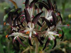 Pelargonium auritum