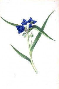 Botanical - Flower - Tradescantia or Dirginia Sprider-wort