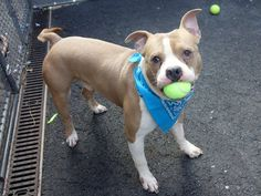 DESTROYED 1/2/14 Manhattan Center MEHAMA/ aka GARLAND - A0988124 MALE TAN WHITE PIT MIX 2 YRS STRAY 12/24/13 Leashed easily & trots carefree looking by my side, likely house trained, comes when called, sits on command. Friendly with kids and strangers, plays with dogs, and loves cats. Ball playing really is his thing! Loves to run & play, but quiet in the house! Perfect health, weight, and very interactive. Just needs a family! Mehama is waiting to be your forever best friend.