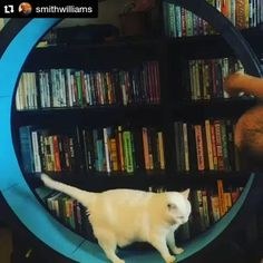 From @smithwilliams with @repostapp ・・・ We're getting there! #BettyWhite #onefastcat  Check out the Cat Exercise Wheel at: http://onefastcat.com