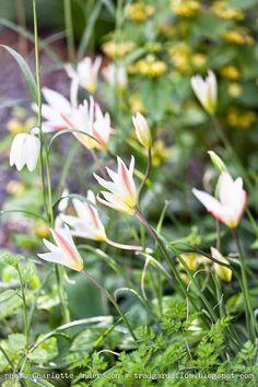 Garden Flow / Lady Jane Tulips