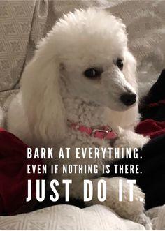 More About The Poodle Dog Exercise Needs Dog Training Near Me, Dog Training Tips, Poodle Grooming, Dog Grooming, Small Poodle, Dog Shots, French Dogs, Dog Nose, Doge